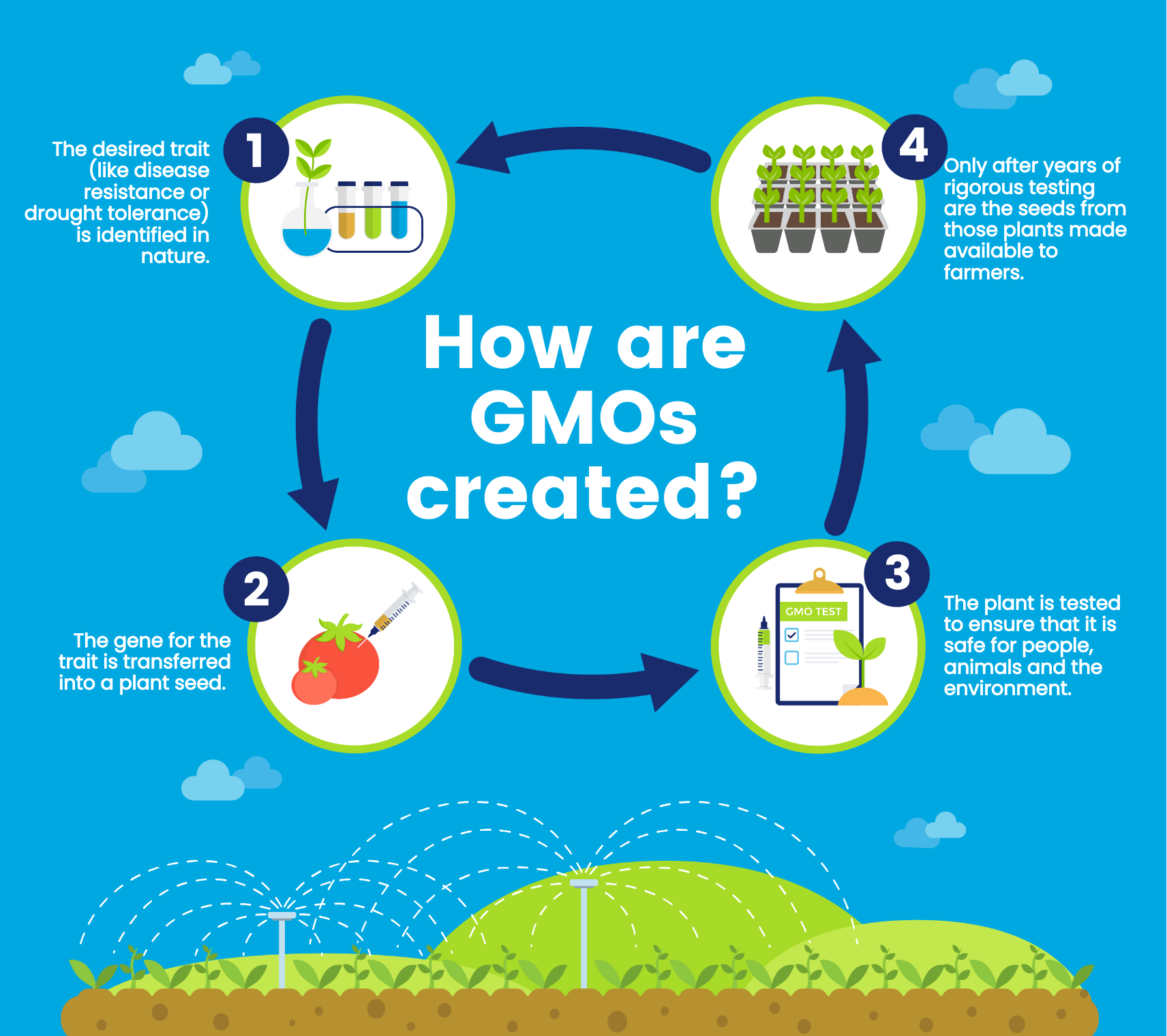 An infographic about how GMOs are created
